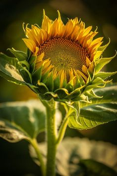 I went to the sunflower farm this past weekend around late afternoon/sunset. Botanical Flowers, Flowers Nature, Wild Flowers, Sunflower Garden, Sunflower Art, My Flower, Flower Power, Sunflower Photography, Sunflower Pictures