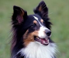 Foxie is an adoptable shetland sheepdog sheltie dog in bridgewater nj