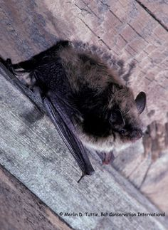 Little Brown Bat (Myotis lucifugus)