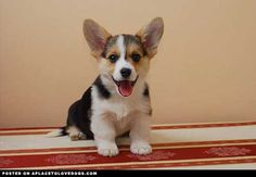 A Cute Corgi • dog dogs puppy puppies cute doggy doggies adorable funny fun silly photography
