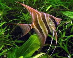 Altum Angel, (Pterophyllum altum) Species Profile, Altum Angel, (Pterophyllum altum) Care Instructions, Altum Angel, (Pterophyllum altum) Feeding and more. acidic water with pH around 5 and plenty of dissolved oxygen in the water. Aquarium hobbyists should look to replicate these water conditions along with aqua-scaping that includes plenty of vegetation and driftwood or wood root..................