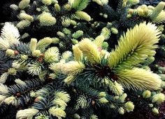 Kigi Nursery - Picea pungens ' Niemetz ' Spring White Dwarf Colorado Blue Spruce, $15.00 (http://www.kiginursery.com/dwarf-miniatures/picea-pungens-niemetz-spring-white-dwarf-colorado-blue-spruce/)