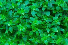12 nejlepších bylin a rostlin proti negativním energiím Aromatic Herbs, Organic Herbs, Natural Herbs, Healing Herbs, Grow Organic, Natural Remedies For Pneumonia, Natural Home Remedies, Benefits Of Basil, Small Herb Gardens