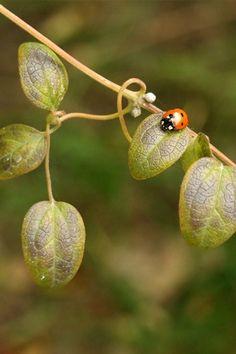 Single Ladybug  Here you go Delgado for you mom :0)