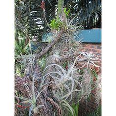 Air Plants (Tillandsias)