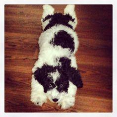 40 Best Springerdoodles Images Doggies Cute Dogs Cute Puppies