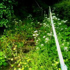 Cow parsley path on Sawday's walk near Dundry  www.sawdays.co.uk