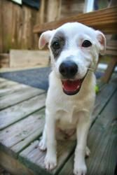 Hannah has been adopted! Hannah is an adoptable Catahoula Leopard Dog Dog in Brookfield, WI. My name is Hannah. My sister Montana and I are about 12 weeks old and looking for our forever homes. We would love to have our forev...