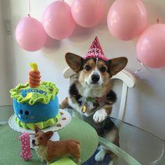 corgi happy birthday 95 Best Corgis in Party Hats! images | Corgi, Corgis, Party hats corgi happy birthday