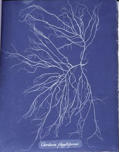 vjeranski:  Photographs of British Algae by Anna Atkins (1799-1871) is a landmark in the histories both of photography and of publishing: the first photographic work by a woman, and the first book produced entirely by photographic means.