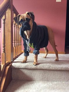 Vita Bull the Bull Mastiff - instead of spending $ on a dog sweater that may not fit, recycle your own hoodie. #Bullmastiff
