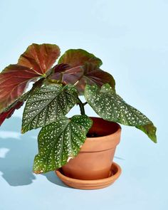 Begonia Plant Care - How to Grow & Maintain Begonia Plants Indoor Plants Low Light, Growing Plants Indoors, Plant Projects, Inside Plants, Indoor Flowers, Bedroom Plants, Foliage Plants, Tropical Plants, Hanging Plants