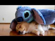 Ventus KO's with Stitch #corgi #puppy