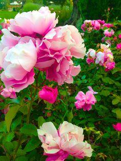 an Italian rose in the garden
