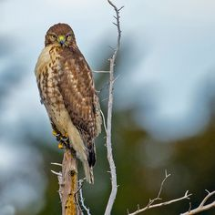 Six Quick Questions to Help You Identify Red-Tailed Hawks Cute Animal Quotes, Cute Animals, Hawk Silhouette, Bird Guides, Hawk Photos, Bird Barn, Barn Owls, Hawk Bird