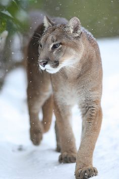The cougar, also known as the mountain lion, puma, panther, painter, mountain cat, or catamount, is a large cat of the family Felidae native to the Americas. Wikipedia  Speed: 64 – 80 km/h (Running)