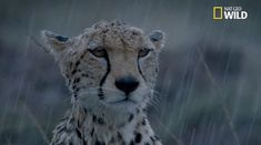 GIFs from National Geographic WILD, a network all about animals & nature from National Geographic. Funny Cat Videos, Funny Cats, Funny Animals, African Cats, Native American Music, Water Pictures, Can Dogs Eat, Cheetahs, Cat Costumes
