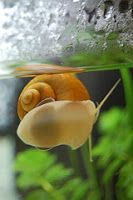 Plaga ślimaków w akwarium z rybami akwariowymi