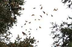 In this Jan. 4, 2015 photo, a swarm of Monarch butterflies fly between trees, in the Piedra Herrada ... - AP Photo/Rebecca Blackwell