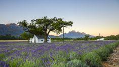 Lavender Fields, Lavender Flowers, Cut Flowers, Old Cottage, Sandy Soil, French Lavender, Along The Way, Geraniums, Lush