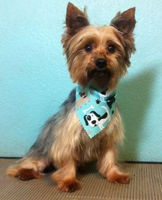 Meet Dundee, a Petfinder adoptable Yorkshire Terrier Yorkie Dog | McKinney, TX | My name is Dundee and I am a 5-year old Yorkie boy. I weigh 5.10 pounds. My foster mom has no...