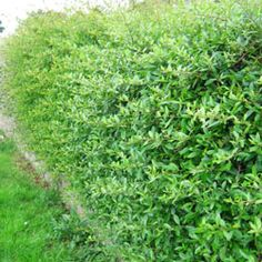 Pyracantha hedge in summer