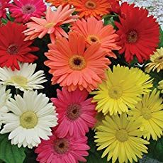 Gerbera Daisy How To Grow And Care For Gerbera Daisies Flower Seeds Gerbera Flower Gerbera Daisy Care