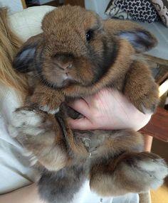 Mini Lop, Bunny Rabbit, Giant Rabbit, Animals And Pets, Baby Animals, Cute Baby Bunnies, Super Cute Animals, Rabbit Hutches, Honey Bunny