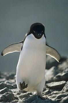 Adelie Penguin (Pygoscelis adeliae) walking over rocks, Antarctica
