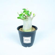 アデニウム・アラビカム | SAVVY PLANTS