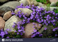 Bellflower (campanula Spec.), Rock Garden With Bellflower Stock ...