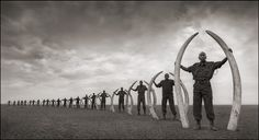 LINE OF RANGERS WITH TUSKS OF KILLED ELEPHANTS, AMBOSELI 2011; Nick Brandt