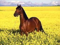 Resultado de imagem para cavalos brasileiros