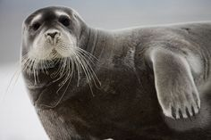 A bearded seal on an iceberg in the Svalbard Archipelago.  The bearded seal lives in and near to the Arctic Ocean.  It uses its sensitive whiskers for finding prey, such as crabs, shrimp, fish, clams, and snails.