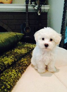 Meet Lucy, the best therapy ever! Maltipoo Puppies, Girls Night Out, Puppy Love, Cute Dogs, Girl Fashion, Therapy, Meet, Smile, Animals