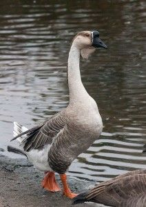 African Goose African Geese