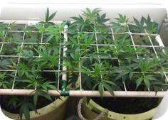 vegetative PVC scrog