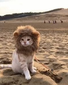 Desert Lion, a dangerous beast in its natural habitat.