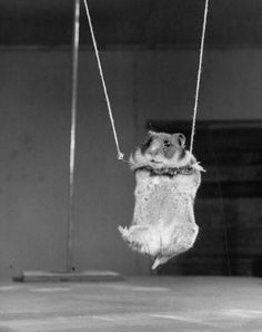 A Tiny Hamster Hanging on Miniature Trapeze