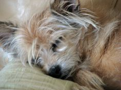 """""""Teddy"""" my Yorkie/Chihuahua mix put in a Chinese Crested clip...I had to try it :)"""