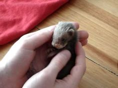 39 day old ferret pup