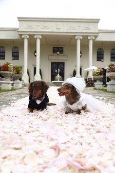 .dachshund wedding♡.