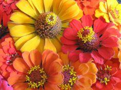 400 - Bulk Zinnia Seeds - Southern Sunset - Annual Flower - Heirloom Non-GMO