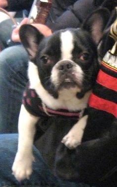 Ms.Milk, the French Bulldog