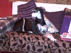 Tri Colour Lurcher  By JuliAnn