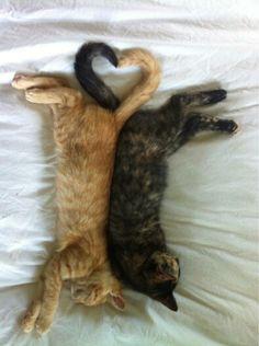 coração de gatos