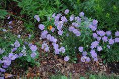 "Scabiosa ""Butterfly blue"" pincushion flower"