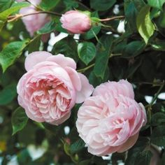"""The Generous Gardener"" - David Austin Roses, strong fragrant old rose, myrrh smell, excellent repeat, hardy"
