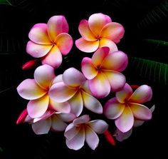 Don't you want these wonderful flowers in your garden. Frangipani They come is so many beautiful colors! Flores Plumeria, Plumeria Flowers, Pink Flowers, Hibiscus Bouquet, Red Orchids, Art Flowers, Sugar Flowers, Fresh Flowers, Tropical Flowers