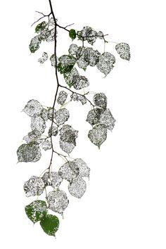 beetle eaten linden leaves  STILL (mary jo hoffman)